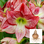 Amaryllis 'Flamenco Queen'