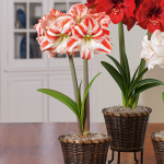 Amaryllis 'Clown,' one bulb in a woven basket