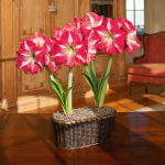 Amaryllis 'Monte Carlo,' two nursery pots in a woven basket