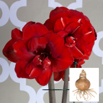 Amaryllis 'Double King'