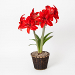 Amaryllis 'Double Delicious,' one bulb in woven basket