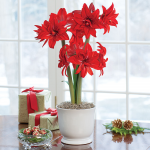 Amaryllis 'Double Delicious'