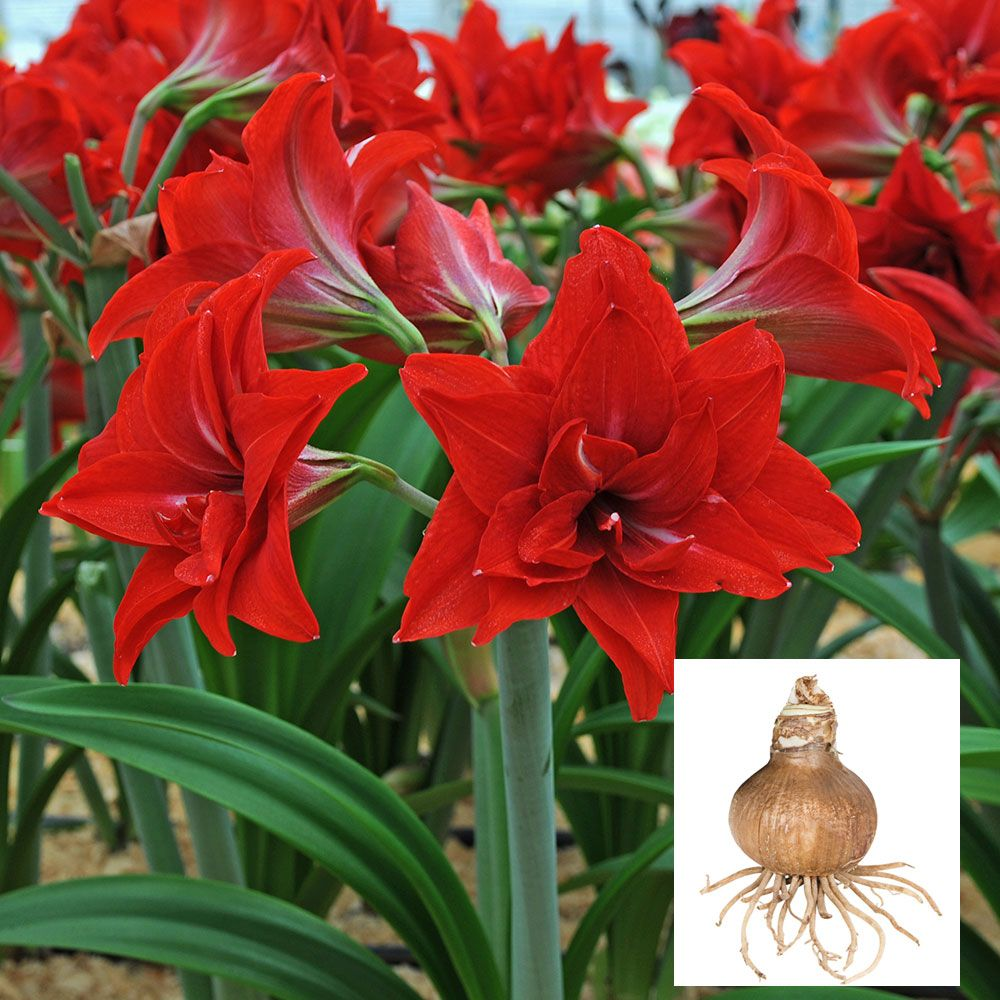 RED and WHITE AMARYLLIS Unknown Name 10 small Bulbs