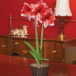 Amaryllis 'Stardust,' one bulb in a woven basket