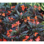 Begonia Unstoppable Upright Fire