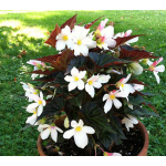 Begonia Unstoppable Upright White