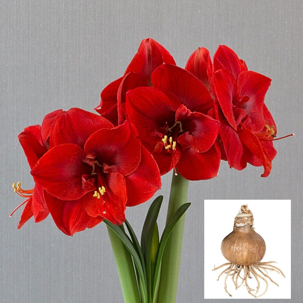 Amaryllis Merry Christmas®, bulb only