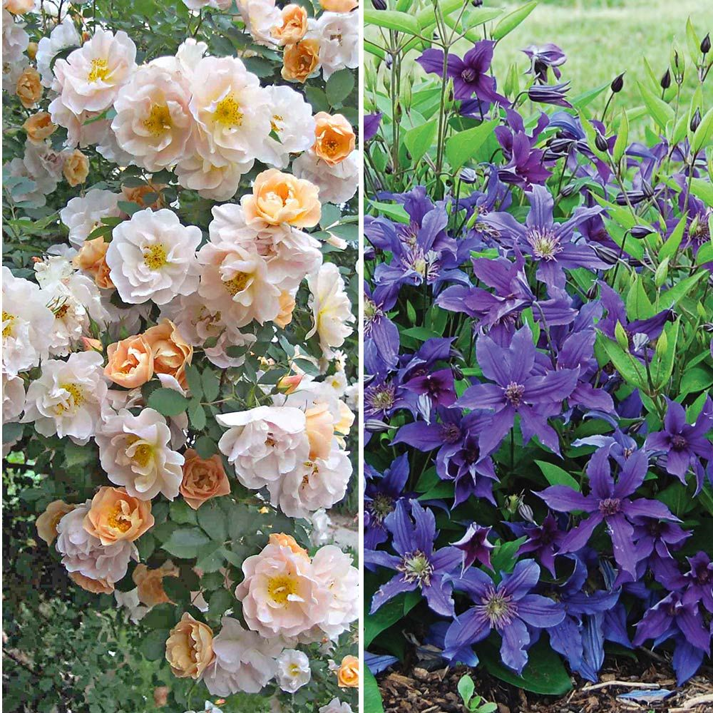 Rose Above and Beyond™ & Clematis Sapphire Indigo™ Duo