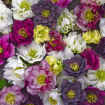Helleborus Wedding Party® Mix