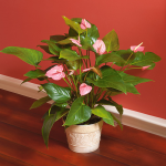 June - Pink Anthurium