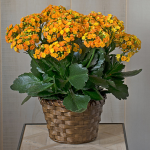 Orange Kalanchoe in woven basket