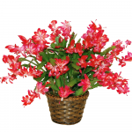 November - Red Holiday Cactus