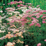 Achillea millefolium Colorado Mix