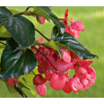 Begonia Dragon Wing® Pink