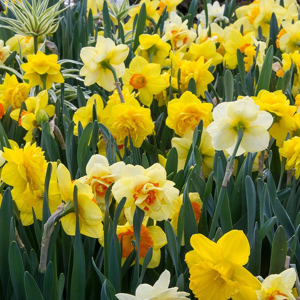 Bold Beauties Daffodil Mixture