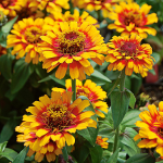 Zinnia 'Zowie! Yellow Flame'