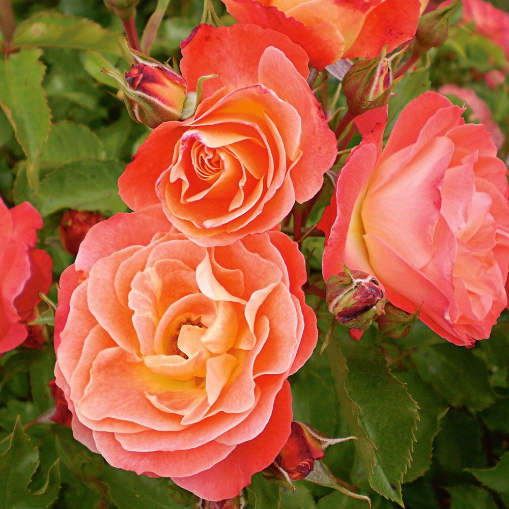 Rose Easy Elegance® Coral Cove