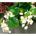 Begonia BabyWing® White