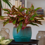 Chinese Evergreen 'Siam Aurora'