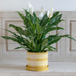 Peace Lily 'Domino'