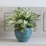 Chinese Evergreen 'Spring Snow'