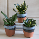 Bird's Nest Snake Plant Trio in Surf City cachepots