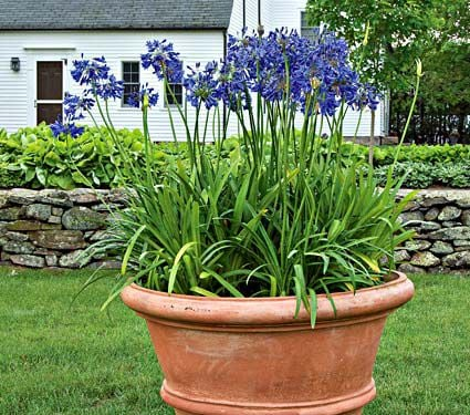 Agapanthus Midknight Blue®