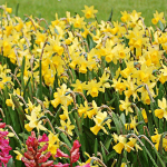 Web-Only Daffodil Varieties