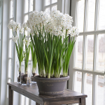 All Paperwhites