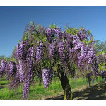 Wisteria floribunda Black Dragon Tree Form