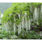 Wisteria Texas White Tree Form