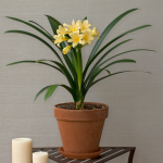 Clivia Sir John Thouron in terra-cotta pot