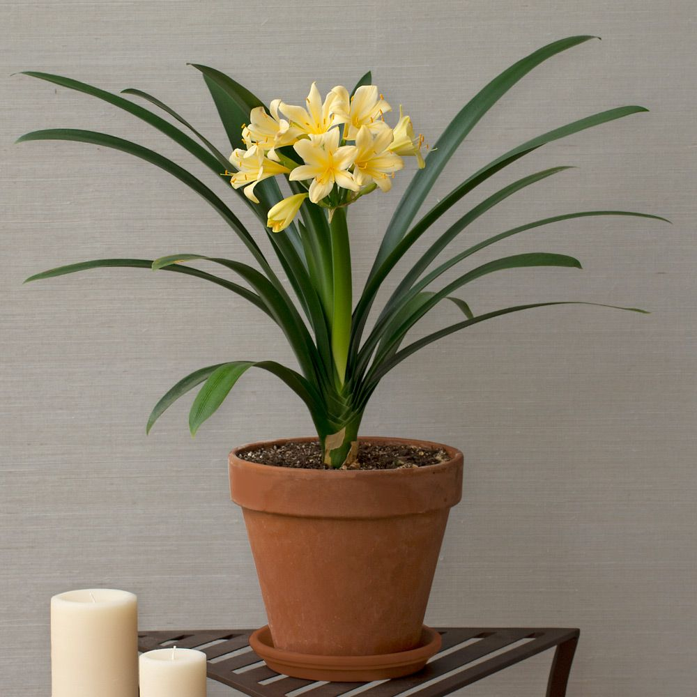 Clivia Sir John Thouron in terracotta pot