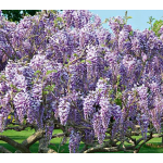 Wisteria Caroline Tree Form