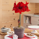 Amaryllis 'Red Queen'