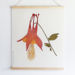 Aquilegia canadensis Print from Superfolk - Standard Shipping Included