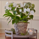 Hydrangea 'Shooting Star' in gray basket