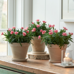 Dianthus 'Little Pink' Trio in clay pots