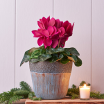 Cyclamen Halios® Purple in ceramic cachepot