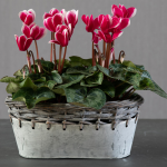 Cyclamen Fantasia® Deep Magenta, 2 pots in metal cachepot