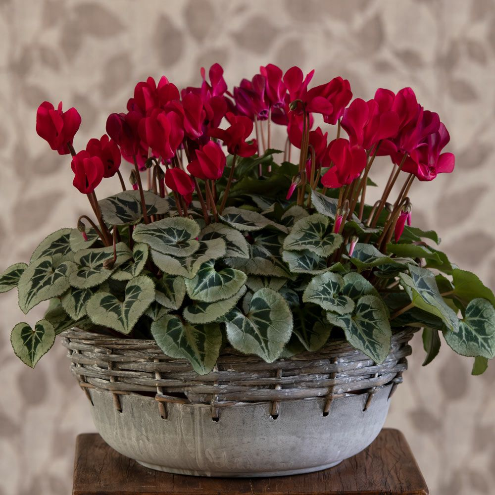 Cyclamen Silverleaf Deep Magenta, 4 pots in metal bowl