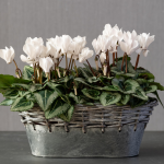 Cyclamen Silverleaf Pure White, 2 pots in metal cachepot