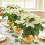 Poinsettia Princettia® Pure White Trio in ceramic cachepots