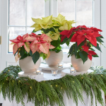 Festive Poinsettia Trio in ceramic cachepots