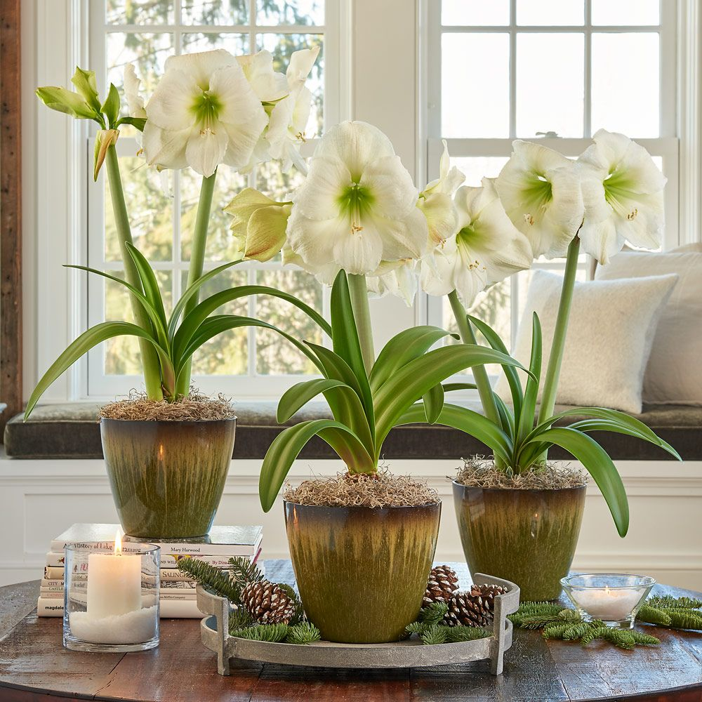 White Amaryllis - Standard Shipping Included