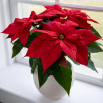 Poinsettia Christmas Wish™ Red in ceramic cachepot
