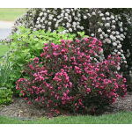 Weigela florida Wine & Roses®
