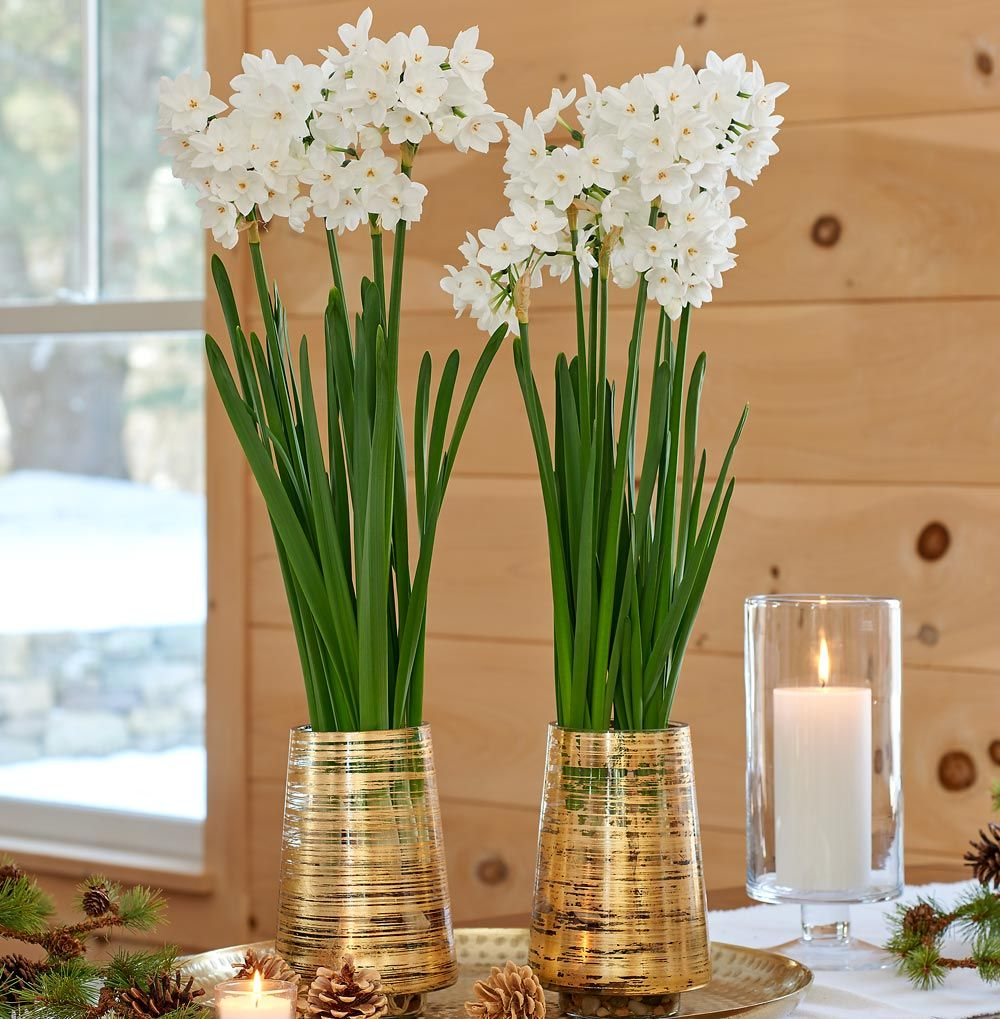 Paperwhite 'Ariel' Kits with gold striped glass vases