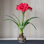 Amaryllis 'Candy Nymph,' one bulb with tapered hurricane vase kit