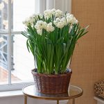 Fragrant Narcissus 'Erlicheer' Bulb Collection, 12 bulbs in woven basket